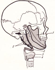 Развитие лицевого отдела черепа